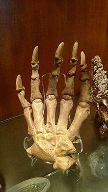 Ancient Cave Bear Claw